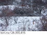 Купить «Italian hare (Lepus corsicanus) in snowy landscape. Central Apennines, Abruzzo, Italy, March.», фото № 28355815, снято 25 мая 2018 г. (c) Nature Picture Library / Фотобанк Лори