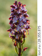 Купить «Lady orchid (Orchis purpurea) flower spike. Abruzzo, Central Apennines, Italy, May.», фото № 28355875, снято 19 июля 2018 г. (c) Nature Picture Library / Фотобанк Лори