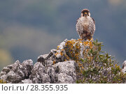 Купить «European Lanner falcon (Falco biarmicus feldeggi) adult male perched on rock. Central Apennines, Italy, April.», фото № 28355935, снято 18 августа 2018 г. (c) Nature Picture Library / Фотобанк Лори