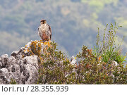 Купить «European Lanner falcon (Falco biarmicus feldeggi) adult male perched on rock. Central Apennines, Italy, April.», фото № 28355939, снято 20 августа 2018 г. (c) Nature Picture Library / Фотобанк Лори