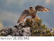 Купить «European Lanner falcon (Falco biarmicus feldeggi) adult male landing on rock. Endangered subspecies. Central Apennines, Italy, April.», фото № 28355943, снято 20 августа 2018 г. (c) Nature Picture Library / Фотобанк Лори