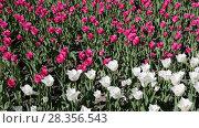 Купить «Клумба с распустившимися тюльпанами», фото № 28356543, снято 30 апреля 2018 г. (c) Валерий Шилов / Фотобанк Лори