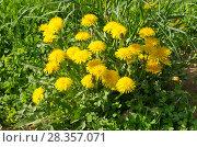 Купить «Цветущие желтые одуванчики (лат. Tarxacum) весенним солнечным днем», эксклюзивное фото № 28357071, снято 30 мая 2017 г. (c) Елена Коромыслова / Фотобанк Лори