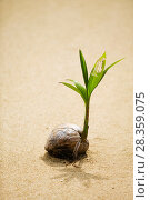 Купить «Coconut (Cocos nucifera) sprouting on beach, Fiji.», фото № 28359075, снято 27 мая 2018 г. (c) Nature Picture Library / Фотобанк Лори