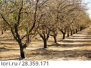 Купить «Dead and dying Almond trees in Almond groves in Wasco in the Central Valley of California after the irrigation water ran out following the four year long...», фото № 28359171, снято 24 мая 2018 г. (c) Nature Picture Library / Фотобанк Лори