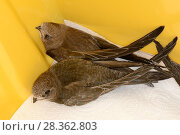 Купить «Two orphaned Common swift chicks (Apus apus), almost grown to full size, held in a keeping cage and about to be fed by Judith Wakelam, Worlington, Suffolk, UK, July.», фото № 28362803, снято 18 июля 2019 г. (c) Nature Picture Library / Фотобанк Лори