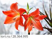 Купить «Гиппеаструм красный (Hippeastrum)», фото № 28364995, снято 21 февраля 2015 г. (c) Алёшина Оксана / Фотобанк Лори