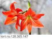 Купить «Гиппеаструм красный (Hippeastrum)», фото № 28365147, снято 21 февраля 2015 г. (c) Алёшина Оксана / Фотобанк Лори