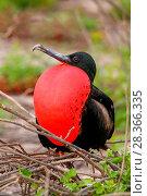Купить «Male Magnificent Frigatebird (Fregata magnificens) with inflated gular sac, North Seymour Island, Galapagos National Park, Ecuador, South America», фото № 28366335, снято 19 апреля 2015 г. (c) age Fotostock / Фотобанк Лори