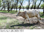 Купить «Корова на фоне реки», эксклюзивное фото № 28369151, снято 21 апреля 2018 г. (c) Игорь Низов / Фотобанк Лори