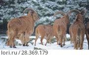 Купить «Barbary sheep (Ammotragus lervia)», видеоролик № 28369179, снято 28 декабря 2017 г. (c) BestPhotoStudio / Фотобанк Лори