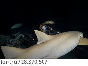 Купить «Female scuba diver looks at nurse shark in the night. Tawny nurse shark, Giant sleepy shark or Madame X (Nebrius ferrugineus)», фото № 28370507, снято 25 марта 2018 г. (c) Некрасов Андрей / Фотобанк Лори