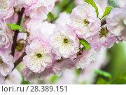 Купить «Цветки миндаля трехлопастного (Prunus triloba)», фото № 28389151, снято 9 мая 2018 г. (c) Алёшина Оксана / Фотобанк Лори