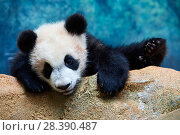 Купить «Playful giant Panda cub (Ailuropoda melanoleuca) investigating its enclosure, climbing over a rock.Yuan Meng, first Giant panda ever born in France, now aged 8 months, Beauval Zoo, France», фото № 28390487, снято 25 сентября 2018 г. (c) Nature Picture Library / Фотобанк Лори