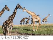 Купить «Masai giraffe (Giraffa cameleopardalis tippelskirchi), herd, Masai-Mara game reserve, Kenya», фото № 28390627, снято 29 мая 2020 г. (c) Nature Picture Library / Фотобанк Лори