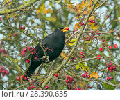 Купить «RF - Blackbird (Turdus merula) male feeding on berries in Hawthorn (Crataegus monogyna) hedge in autumn,  Norfolk, England, UK, November.», фото № 28390635, снято 22 мая 2018 г. (c) Nature Picture Library / Фотобанк Лори