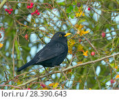 Купить «Blackbird (Turdus merula) male feeding on berries in Hawthorn (Crataegus monogyna) hedge, Norfolk, England, UK, November.», фото № 28390643, снято 22 мая 2018 г. (c) Nature Picture Library / Фотобанк Лори