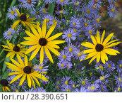 Купить «Rudbeckia fulgida var. sullivantii 'Goldsturm' in garden with Michaelmas daisies.», фото № 28390651, снято 21 сентября 2018 г. (c) Nature Picture Library / Фотобанк Лори