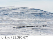 Купить «Wild Reindeer (Rangifer tarandus). Forollhogna National Park in February. Norway.», фото № 28390671, снято 24 августа 2019 г. (c) Nature Picture Library / Фотобанк Лори