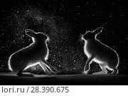 Купить «Mountain hares (Lepus timidus) backlit, fighting at night, Norway. April.», фото № 28390675, снято 28 мая 2020 г. (c) Nature Picture Library / Фотобанк Лори