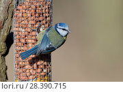 Купить «Blue tit (Parus caeruleus) perched on a bird feeder filled with peanuts, Gloucestershire, UK, February.», фото № 28390715, снято 27 мая 2018 г. (c) Nature Picture Library / Фотобанк Лори