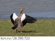Купить «Egyptian goose (Alopochen aegyptiacus) flapping its wings and calling in an aggressive challenge on the margins of Rutland Water reservoir, Rutland, UK, August.», фото № 28390723, снято 20 августа 2018 г. (c) Nature Picture Library / Фотобанк Лори