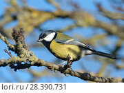 Купить «Great tit (Parus major) perched on a tree branch, Somerset, UK, December.», фото № 28390731, снято 27 мая 2018 г. (c) Nature Picture Library / Фотобанк Лори