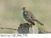 Купить «Rock pipit (Anthus petrosus) perched on a fence post in coastal farmland, Cornwall, UK, October.», фото № 28390775, снято 17 августа 2018 г. (c) Nature Picture Library / Фотобанк Лори