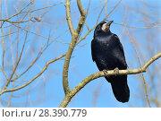 Купить «Rook (Corvus frugilegus) perched in a tree, Gloucestershire, UK, February.», фото № 28390779, снято 23 сентября 2018 г. (c) Nature Picture Library / Фотобанк Лори