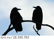 Купить «Two Rooks (Corvus frugilegus) silhouetted as they perch on a tree branch at their roost site at sunset, Gloucestershire, UK, February.», фото № 28390783, снято 22 апреля 2019 г. (c) Nature Picture Library / Фотобанк Лори
