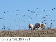 Купить «Common starlings (Strunus vulgaris) landing to forage for insects around grazing Sheep (Ovis aries) on coastal pastureland, Cornwall, UK, October.», фото № 28390791, снято 23 марта 2019 г. (c) Nature Picture Library / Фотобанк Лори