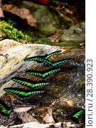 Купить «Raja Brookes Birdwing Butterflies (Trogonoptera brookiana) puddling,  Borneo», фото № 28390923, снято 19 августа 2018 г. (c) Nature Picture Library / Фотобанк Лори