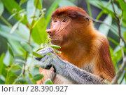 Купить «Female Proboscis monkey (Nasalis larvatus) feeding, Kinabatangan River, Sabah, Borneo.», фото № 28390927, снято 14 августа 2018 г. (c) Nature Picture Library / Фотобанк Лори