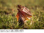 Купить «Frill-neck Lizard (Chlamydosaurus kingii), displaying by opening its large frill. Northern Territory, Australia», фото № 28390991, снято 17 августа 2018 г. (c) Nature Picture Library / Фотобанк Лори