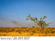 Купить «Budgerigars (Melopsittacus undulatus) flocking to find water, Northern Territory, Australia», фото № 28391007, снято 18 августа 2018 г. (c) Nature Picture Library / Фотобанк Лори