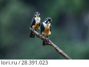 Купить «Black-thighed falconet (Microhierax fringillarius) male on right, female on left, Malaysia. The world's smallest bird of prey, the size of a sparrow.», фото № 28391023, снято 19 июля 2018 г. (c) Nature Picture Library / Фотобанк Лори