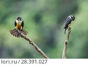 Купить «Black-thighed falconet (Microhierax fringillarius) male female pair with female fanning her feathers,  Malaysia.», фото № 28391027, снято 27 марта 2019 г. (c) Nature Picture Library / Фотобанк Лори
