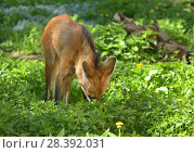 Купить «Maned wolf (Chrysocyon brachyurus) in grass», фото № 28392031, снято 8 мая 2018 г. (c) Валерия Попова / Фотобанк Лори