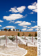 Купить «Grape vines near Shepperton, Victoria covered with netting to protect them from birds. Australia. February 2010.», фото № 28393567, снято 19 июля 2018 г. (c) Nature Picture Library / Фотобанк Лори