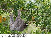 Купить «Brown-throated Sloth  (Bradypus variegatus) female, seen from canopy tower, Soberiana NP,  Panama.», фото № 28396231, снято 2 июня 2020 г. (c) Nature Picture Library / Фотобанк Лори