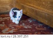 Купить «Белый котенок с голубыми глазами White kitten with big blue eyes», фото № 28397251, снято 30 апреля 2018 г. (c) Baturina Yuliya / Фотобанк Лори