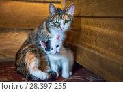 Купить «Мама-кошка и котенок mother-cat and white kitten», фото № 28397255, снято 30 апреля 2018 г. (c) Baturina Yuliya / Фотобанк Лори