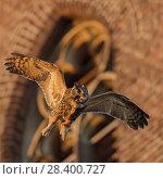 Купить «Eagle Owl( Bubo bubo ) adult male, flying in front of an old church, through its habitat in urban surrounding, warm evening light, wildlife, Europe.», фото № 28400727, снято 29 декабря 2016 г. (c) age Fotostock / Фотобанк Лори