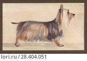 Купить «Австралийский шелковистый терьер - рисунок акварелью», фото № 28404051, снято 8 апреля 2020 г. (c) Elizaveta Kharicheva / Фотобанк Лори