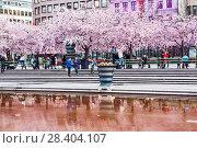 Купить «Аллея цветущей сакуры в Королевском парке. Стокгольм. Швеция», фото № 28404107, снято 30 апреля 2018 г. (c) Сергей Афанасьев / Фотобанк Лори