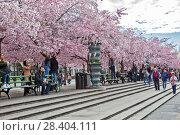 Купить «Аллея цветущей сакуры в Королевском парке. Стокгольм. Швеция», фото № 28404111, снято 30 апреля 2018 г. (c) Сергей Афанасьев / Фотобанк Лори
