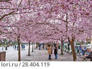 Купить «Аллея цветущей сакуры в Королевском парке. Стокгольм. Швеция», фото № 28404119, снято 30 апреля 2018 г. (c) Сергей Афанасьев / Фотобанк Лори