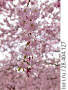 Купить «Веточки цветущей сакуры. Королевский парк. Стокгольм. Швеция», фото № 28404127, снято 30 апреля 2018 г. (c) Сергей Афанасьев / Фотобанк Лори