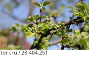 Купить «Бутоны яблони крупным планом», видеоролик № 28404251, снято 9 мая 2018 г. (c) Ольга Сейфутдинова / Фотобанк Лори