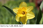 Купить «Желтые нарциссы Yellow daffodils (Narcissus poeticus)», видеоролик № 28404327, снято 12 мая 2018 г. (c) Ольга Сейфутдинова / Фотобанк Лори